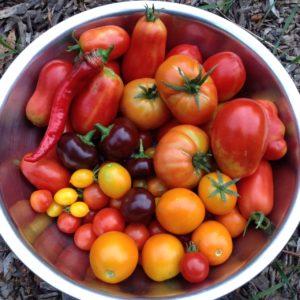 tomato-harvest-2016