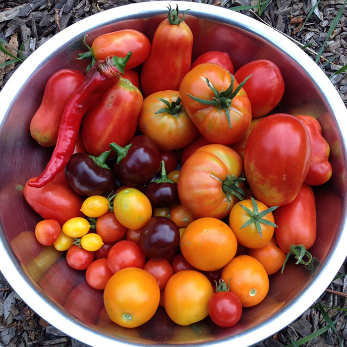 September harvest of home grown tomato varieties.