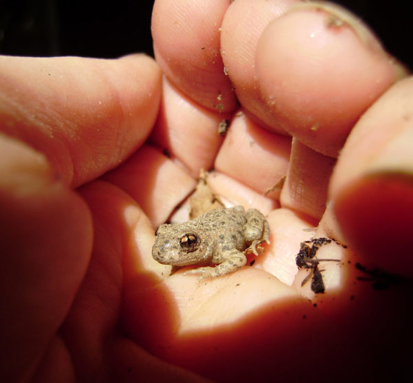 Juvenile Midwife Toad.