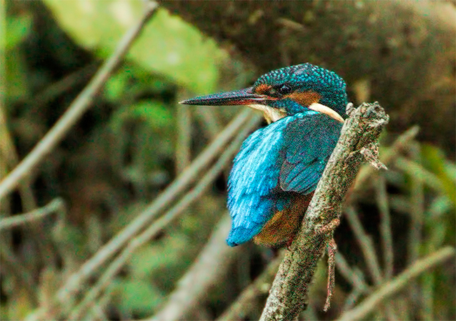 Resident King Fisher.