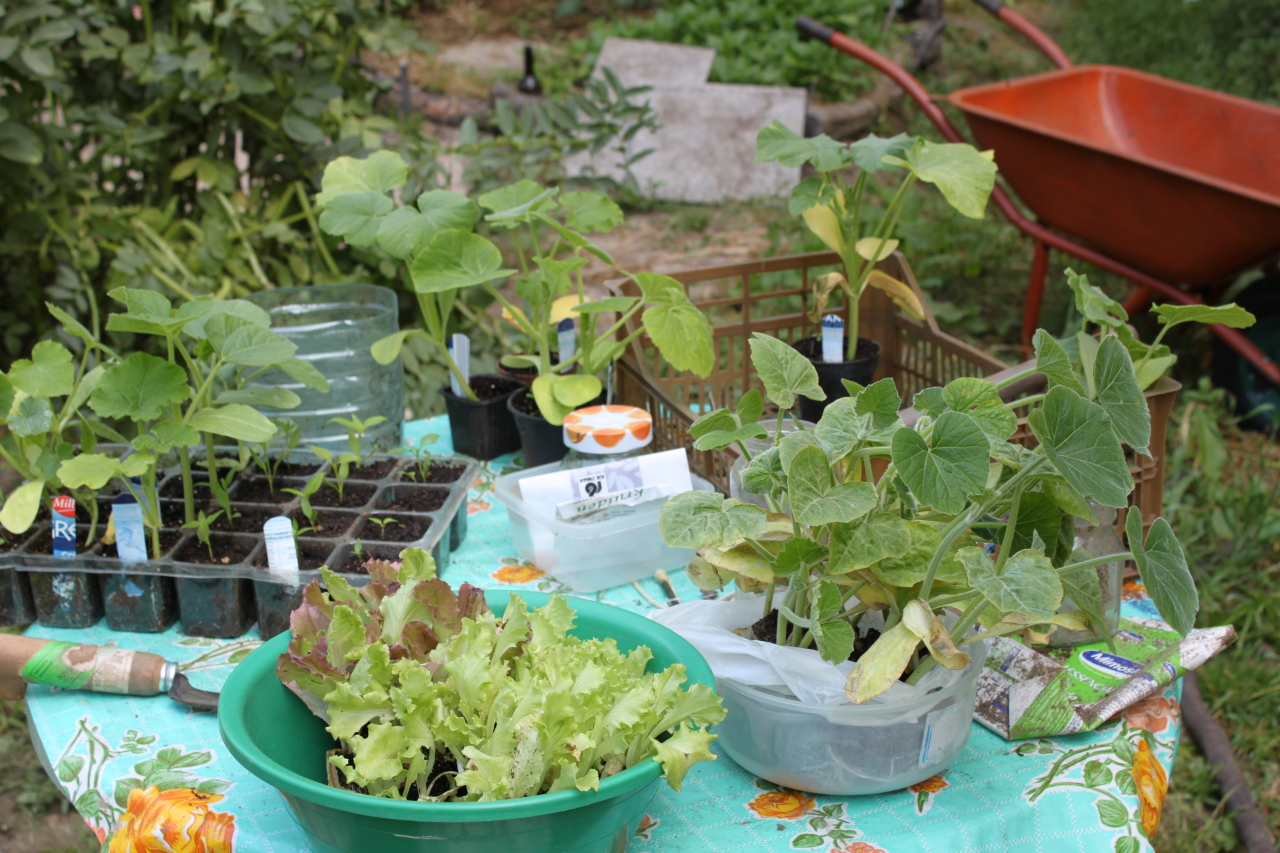 Growing plants from seed for the vegetable garden.
